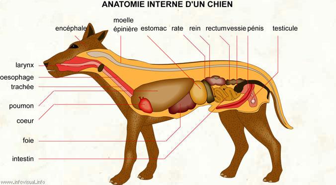 Anatomie interne
